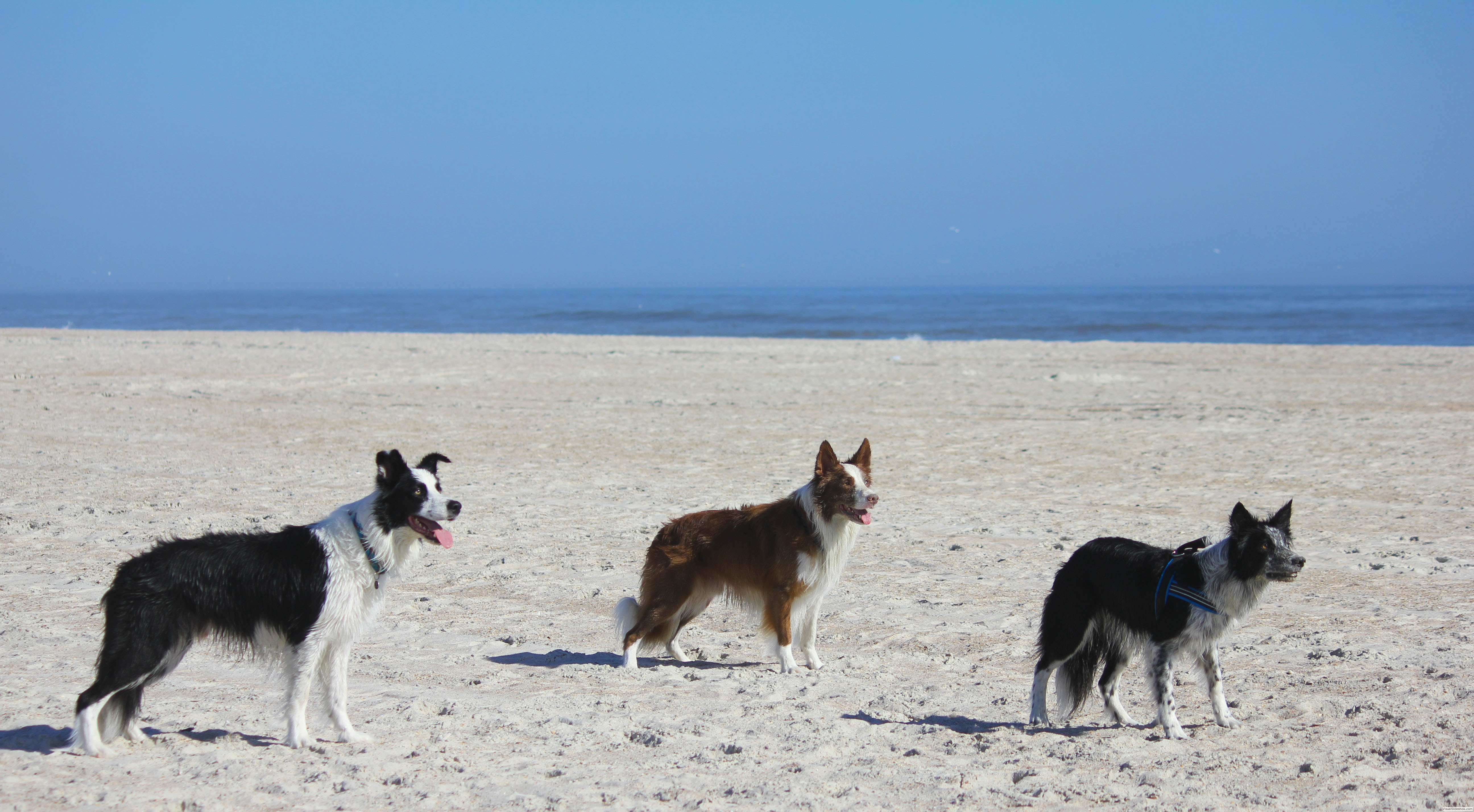 Fleet, Blitz and Rev playing ball on the beach. Photo take on St. Augustine Beach, Florida.