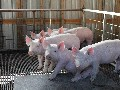 A group of young weanling pigs. Photo taken in Archer Florida.