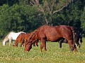 Wild mustangs grazing. Photo taken outside of Catoosa, Oklahoma.